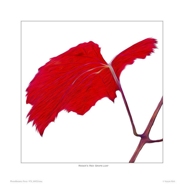 Leaves Poster featuring the photograph Roger's Red Grape Leaf by Saxon Holt
