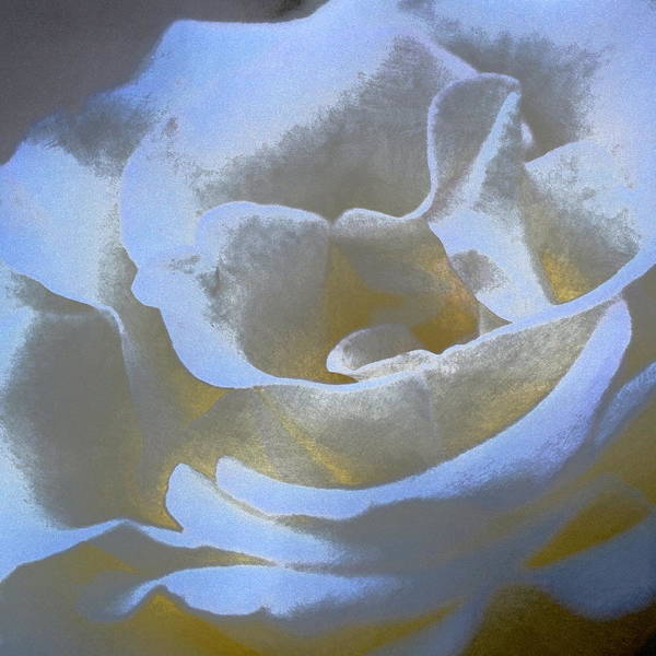 Floral Poster featuring the photograph Rose 186 by Pamela Cooper