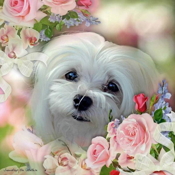 snowdrop The Maltese Poster featuring the photograph Snowdrop The Maltese by Morag Bates