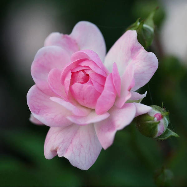 Rosebud Poster featuring the photograph Soft Pink Miniature Rose by Rona Black