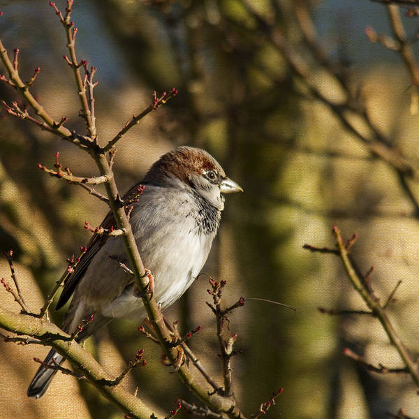 Sparrow Poster featuring the photograph Sparrow by Rebecca Cozart