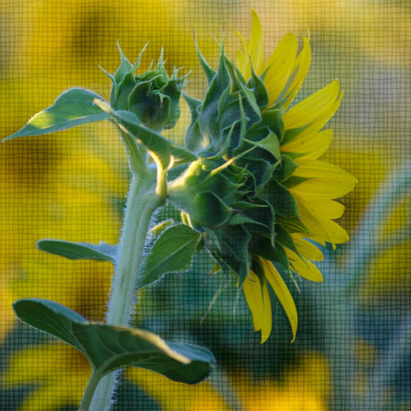 Sunflower Poster featuring the photograph Sunny With Texture by Rima Biswas