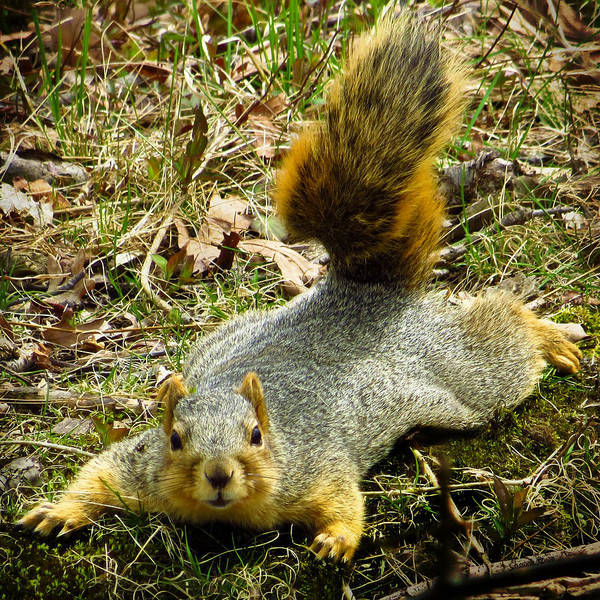 Eastern Fox Squirrel Poster featuring the photograph Surprise Mister Squirrel by Shawna Rowe