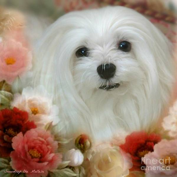 maltese Dog Poster featuring the mixed media Sweet Snowdrop by Morag Bates