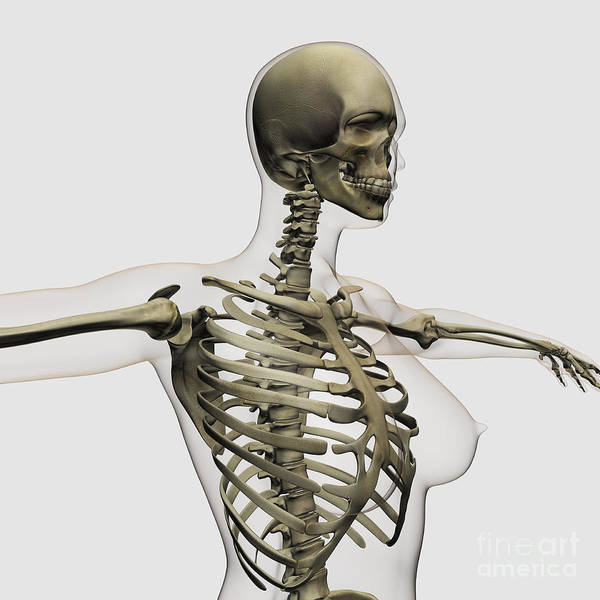 Skeleton Poster featuring the digital art Three Dimensional View Of Female Rib by Stocktrek Images