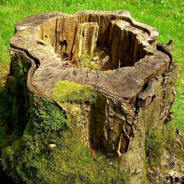 Stump Poster featuring the photograph Tree Stump by Phil Nolan