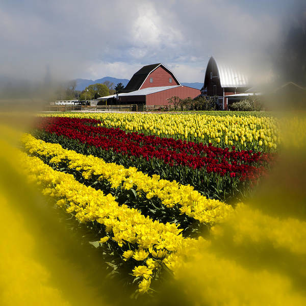 Tulips Poster featuring the photograph Tulips And Barn by Irene Theriau