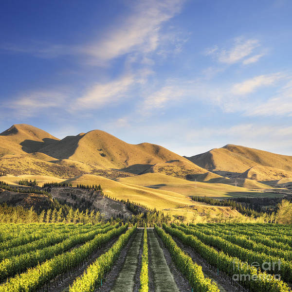 Canterbury Poster featuring the photograph Vineyard In Canterbury New Zealand by Colin and Linda McKie
