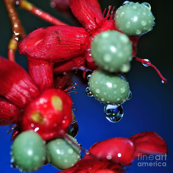 Photography Poster featuring the photograph Wet Berries by Kaye Menner