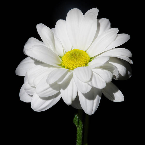 White Macro Flower Poster featuring the pyrography White Flower by Gennadiy Golovskoy