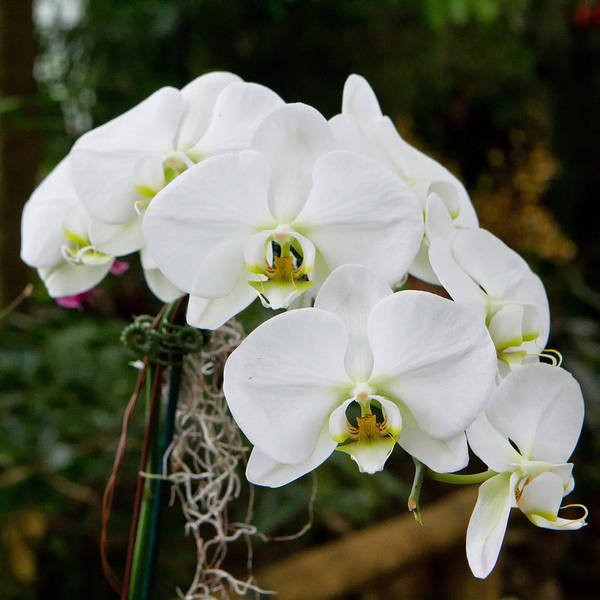 Flower Poster featuring the photograph White Orchids 2 by Timothy Blair