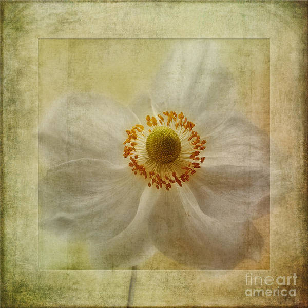 Japanese Windflower Poster featuring the photograph Windflower Textures by John Edwards