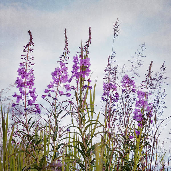 Fireweed Poster featuring the photograph Yukon State Flower by Priska Wettstein