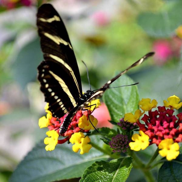 Zebra Poster featuring the photograph Zebra Longwing Butterfly by Richelle Munzon