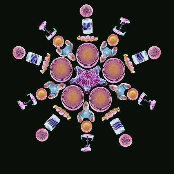 Diatom Poster featuring the photograph Diatom Assortment, Sems by Steve Gschmeissner