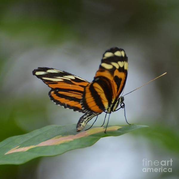 Butterfly Poster featuring the photograph Banded Orange by Paulina Roybal