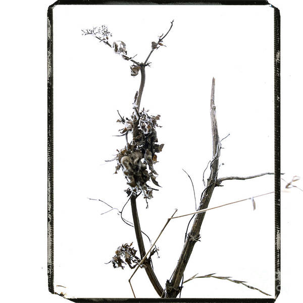 Worms-eye Poster featuring the photograph Branch Of Dried Out Flowers. by Bernard Jaubert