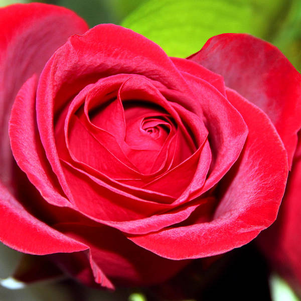 Crimson Poster featuring the photograph Crimson Red Rose by Karon Melillo DeVega