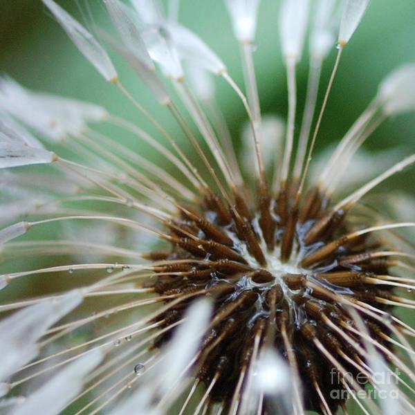 Dandelion Tears Poster featuring the photograph Dandelion Tears by Paul Ward