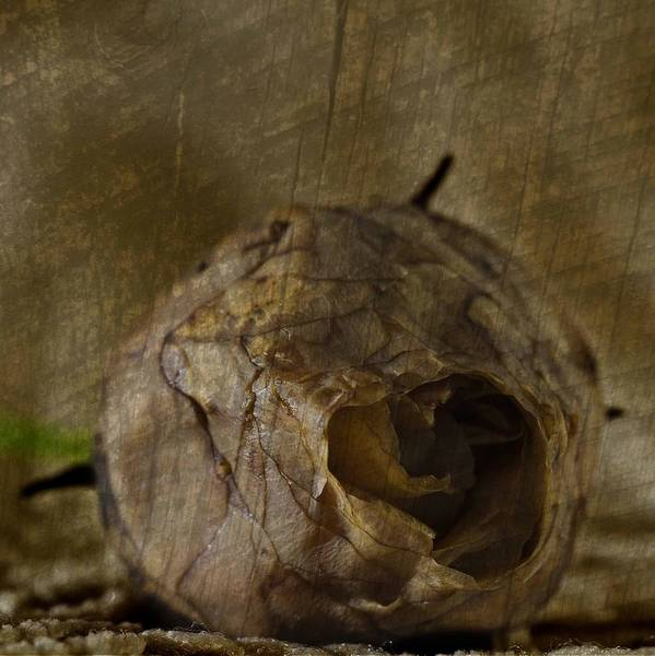 Rosebud Poster featuring the photograph Dead Rosebud by Steve Purnell