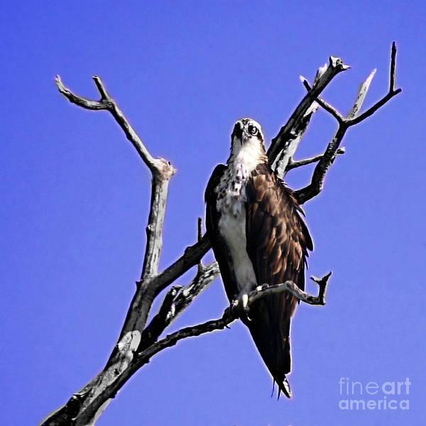 Osprey Poster featuring the photograph Florida Osprey by Danuta Bennett