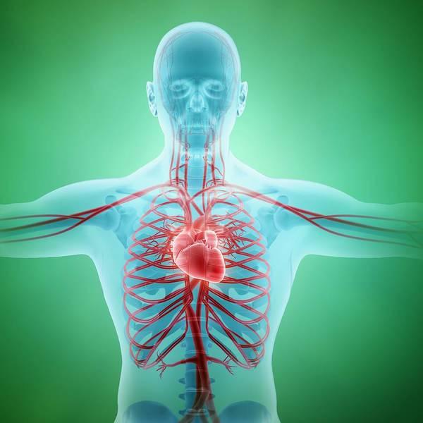 Square Poster featuring the digital art Healthy Cardiovascular System, Artwork by Andrzej Wojcicki