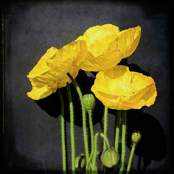 Square Poster featuring the photograph Iceland Yellow Poppies by Paul Grand Image