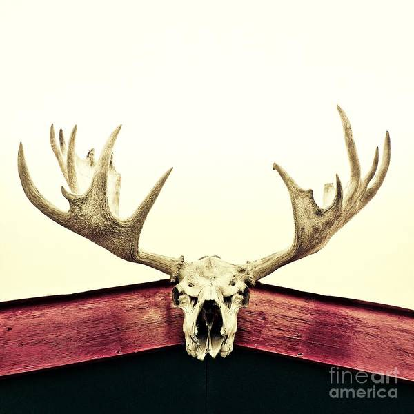 Moose Poster featuring the photograph Moose Trophy by Priska Wettstein
