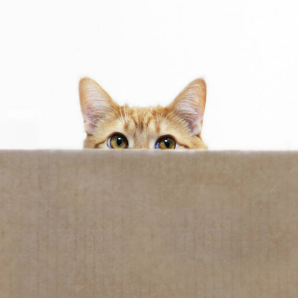 Square Poster featuring the photograph Orange Cat Peeping Out From Cardboard Box by Kevin Steele