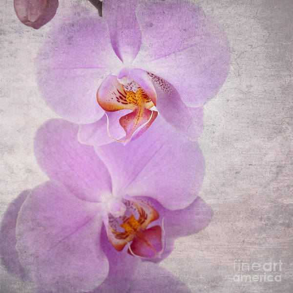 Aged Poster featuring the photograph Orchid by Jane Rix