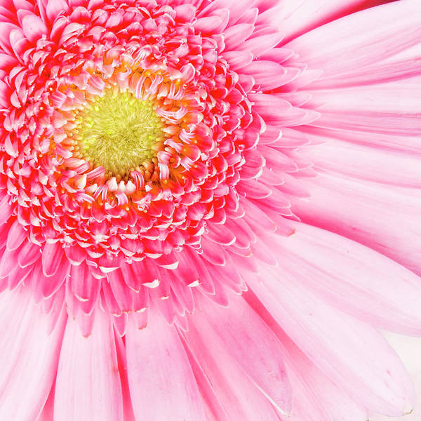 Pink Poster featuring the photograph Pink Delight II by Tamyra Ayles