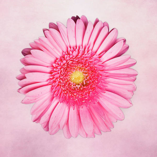 Pink Poster featuring the photograph Pink Delight by Tamyra Ayles