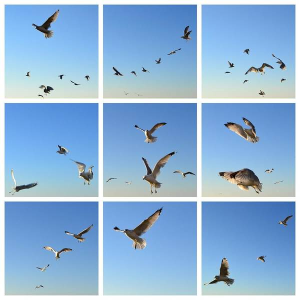 Seagull Poster featuring the photograph Seagull Collage 2 by Michelle Calkins