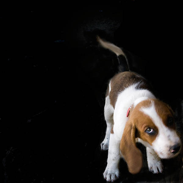 Square Poster featuring the photograph Shy Puppy by by Eudald Castells