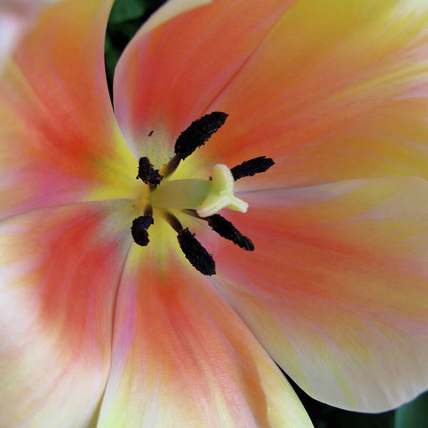 Tulip Poster featuring the photograph Smooth And Silky by Rachel Cohen