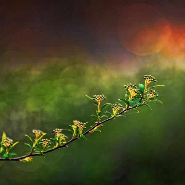 Spirea Poster featuring the photograph Spirea Sunset by Brenda Bryant