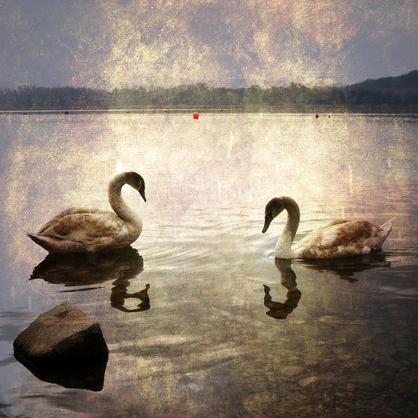 Lago Di Varese Poster featuring the photograph swans on Lake Varese in Italy by Joana Kruse