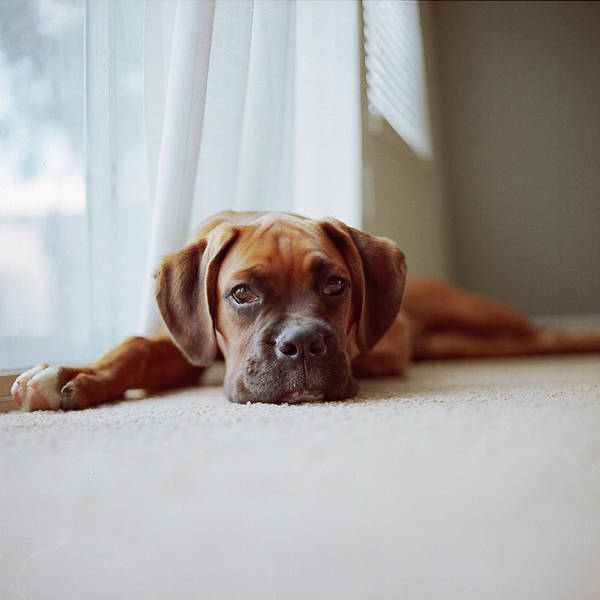 Square Poster featuring the photograph Tan Boxer Puppy Laying On Carpet Near Window by Diyosa Carter