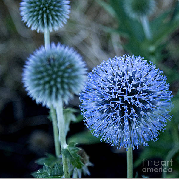 Blue Poster featuring the photograph Thistle In Bloom by Shirleen Mitchell