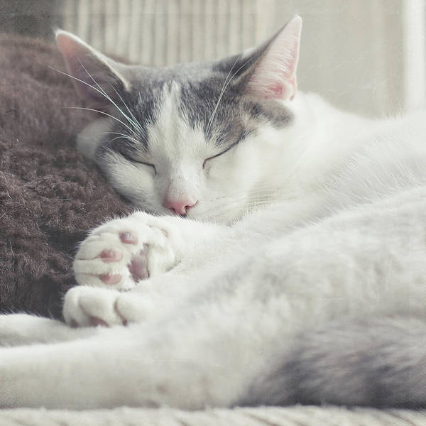 Square Poster featuring the photograph White And Grey Cat Taking Nap On Couch by Cindy Prins