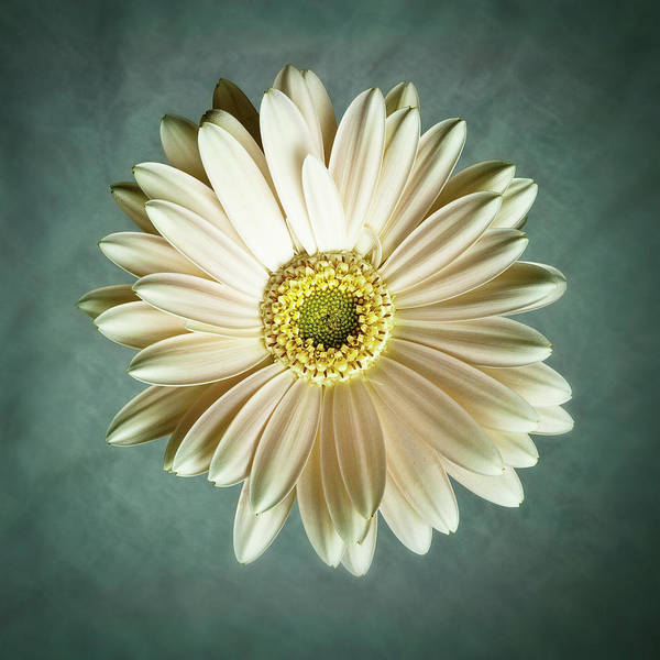 Flower Poster featuring the photograph White Daisy by Tamyra Ayles