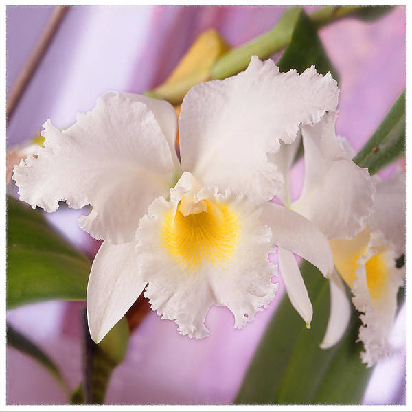 White Flower Poster featuring the photograph White Orchid by Mike McGlothlen