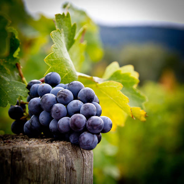 Vineyard Poster featuring the photograph Entitled by Ryan Weddle