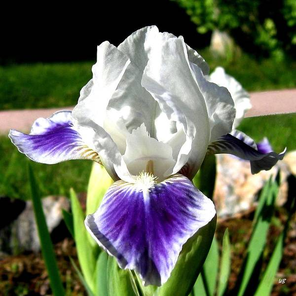 Iris Poster featuring the photograph Iris Elegance by Will Borden