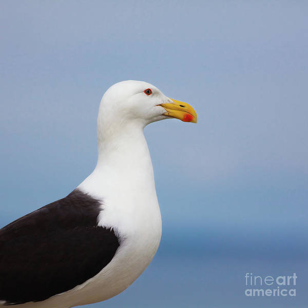 Larus Marinus Poster featuring the photograph Larus Marinus by Gabriela Insuratelu