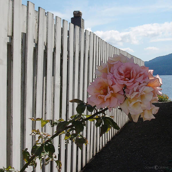 Rose Poster featuring the photograph Orcas Island Rose by Tim Nyberg