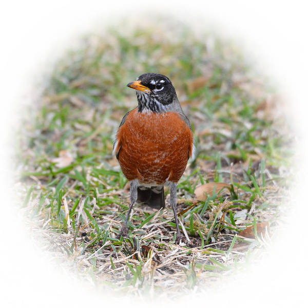 Bird Poster featuring the photograph Robin by Lindy Pollard