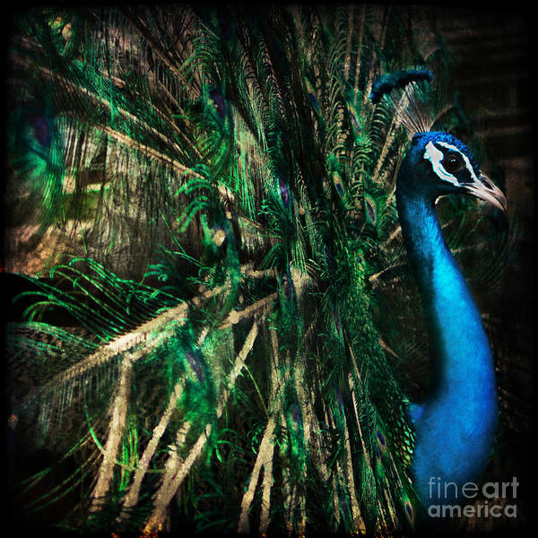 Peacock Poster featuring the photograph Splendour by Andrew Paranavitana