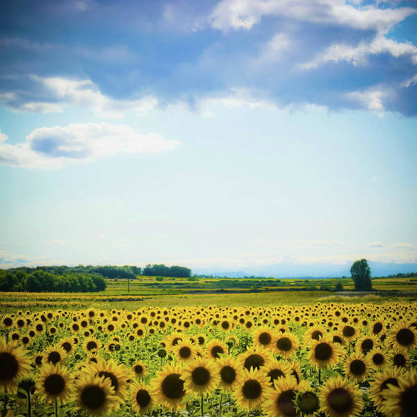 Square Poster featuring the photograph Sunflowers by Kirstin Mckee
