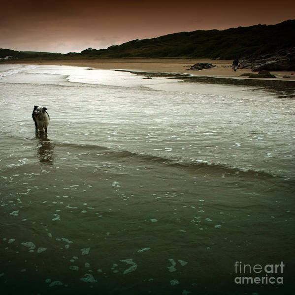 Dog Poster featuring the photograph Pembrokeshire by Angel Ciesniarska